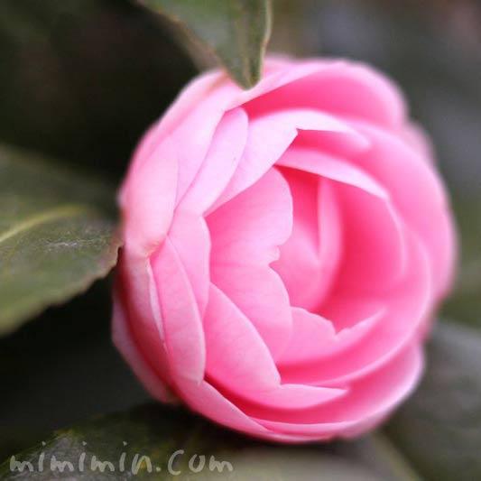 ピンク色のツバキ(椿)の画像