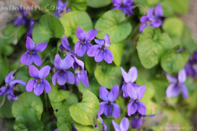 すみれの花の写真