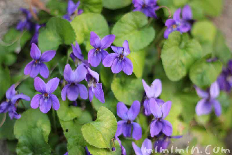 スミレの花の写真