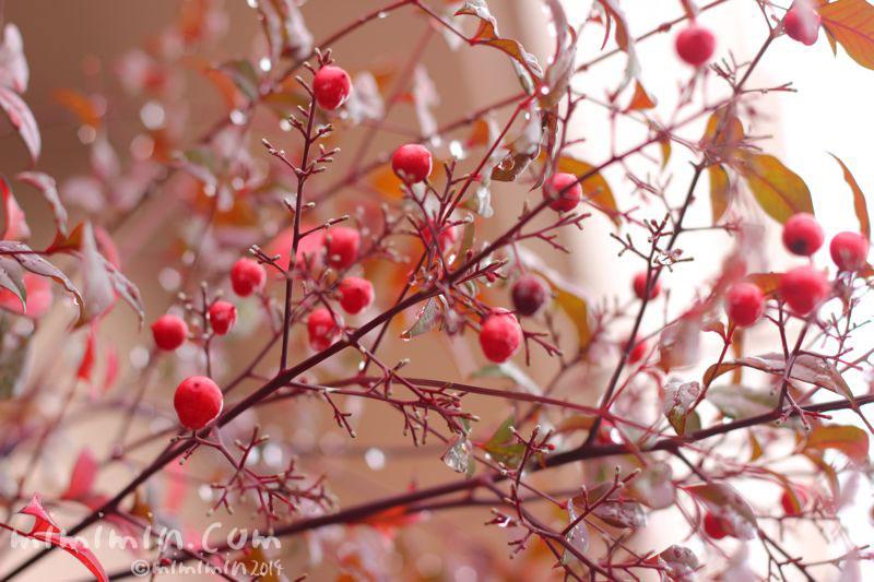 南天(ナンテン)の赤い実の写真3