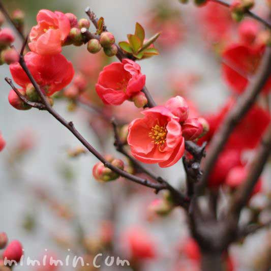 ボケ(木瓜)の花の写真