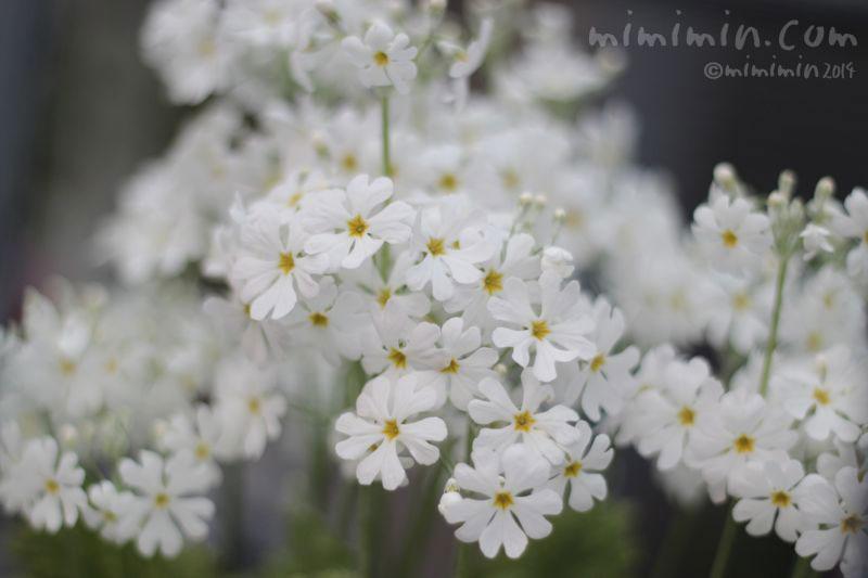 桜草(サクラソウ)の写真