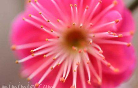 ウメの花(紅梅)の写真