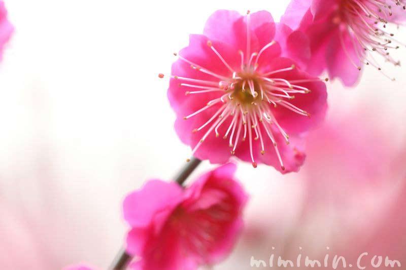 梅の花(紅梅)の画像