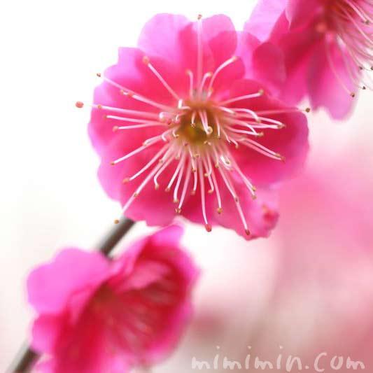 ウメの花(紅)の画像