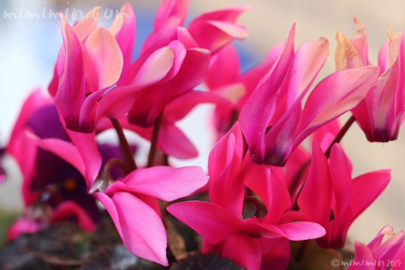 シクラメンの写真(濃いピンク)