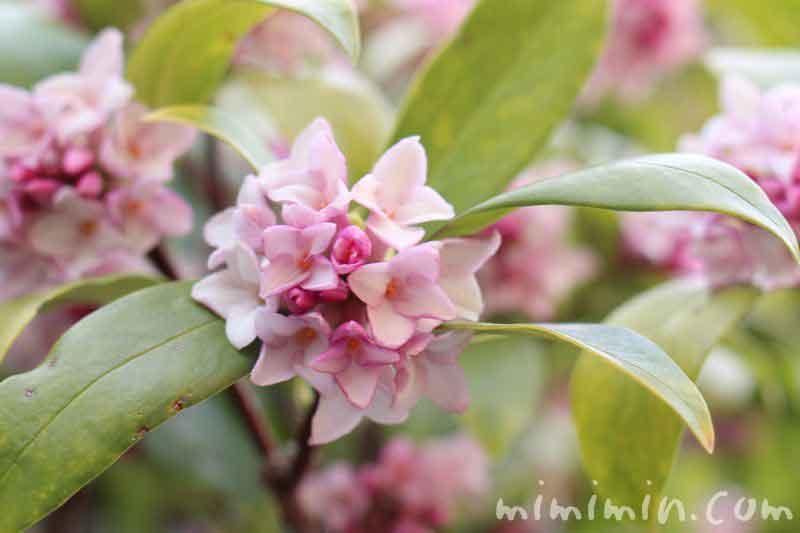 沈丁花 ピンクの画像