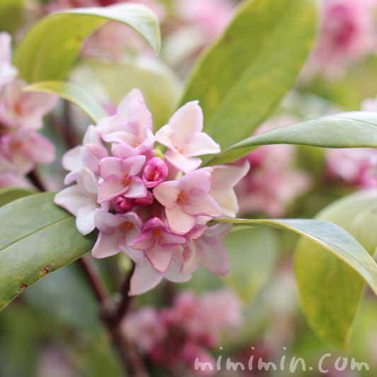 沈丁花 (ジンチョウゲ)の写真