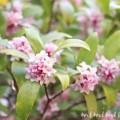 ピンクのジンチョウゲの画像