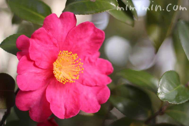 さざんか 山茶花の画像