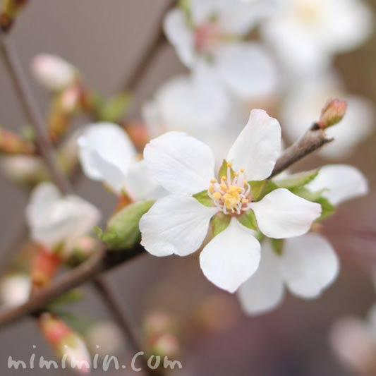 ユスラウメ(桜桃)の写真