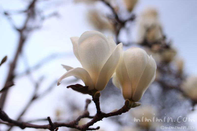 ハクモクレン(白木蓮)の写真