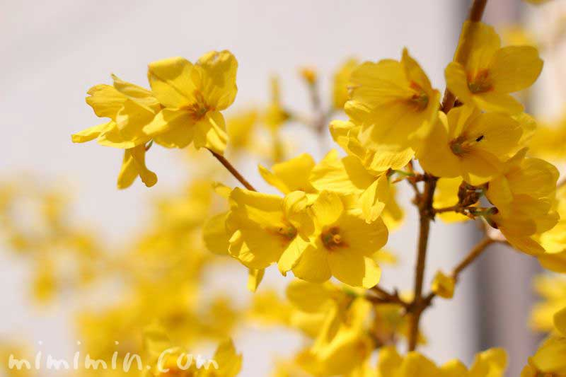 レンギョウウツギの花の写真