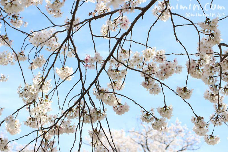 満開の桜の写真4