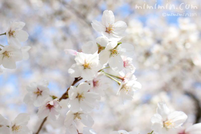 満開の桜の写真3