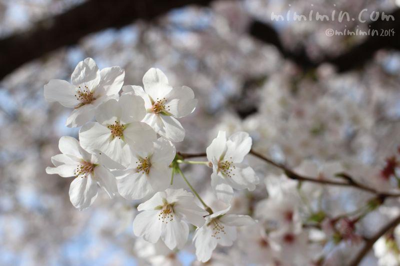 桜(満開)の写真3