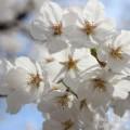 桜(満開)の写真
