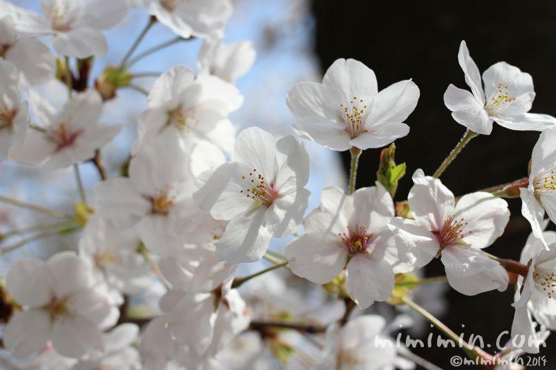 桜(満開)の写真2