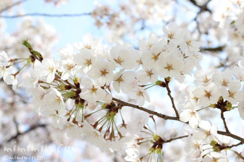 桜の花の写真2