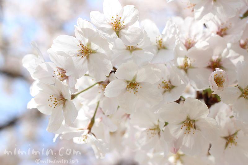桜の花の写真3