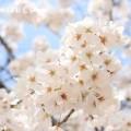 満開のサクラの花の写真