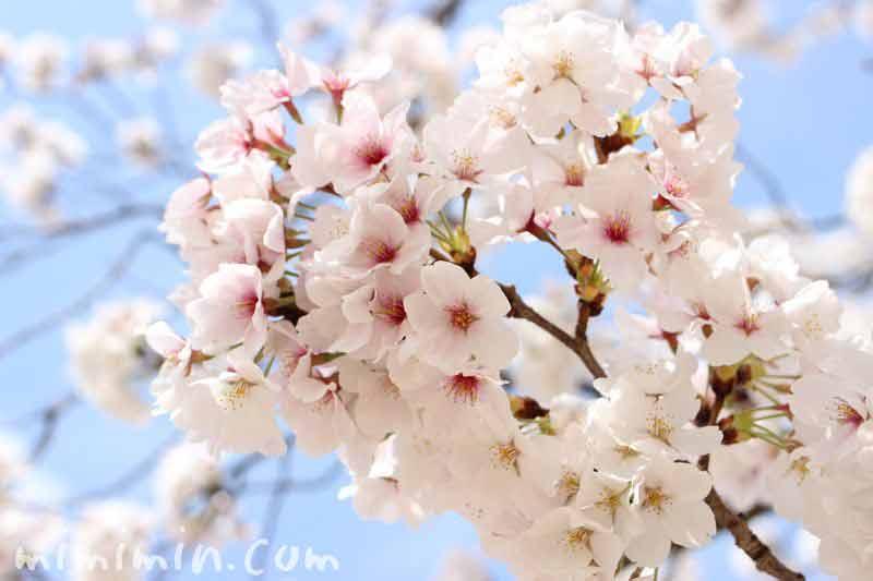 サクラの花の画像