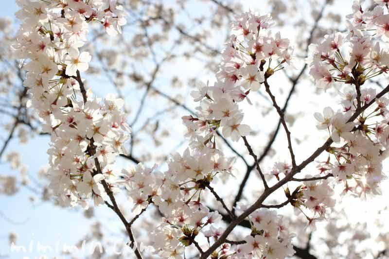 桜の花 満開の画像
