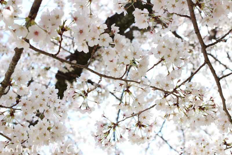 桜 満開の画像