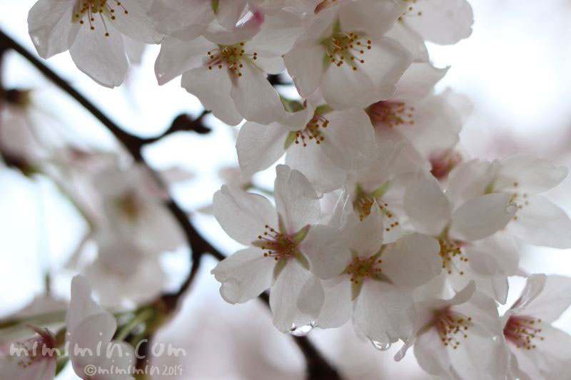 桜の写真5