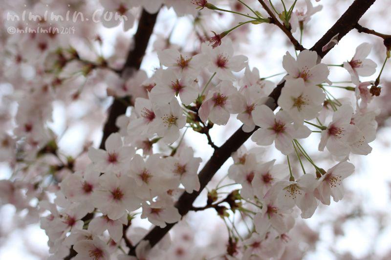 桜(サクラ)の写真2