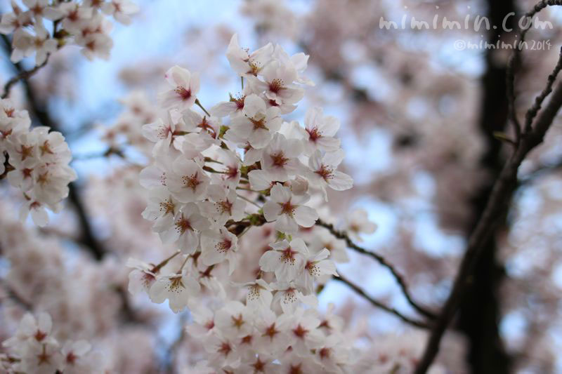 桜(サクラ)の写真3