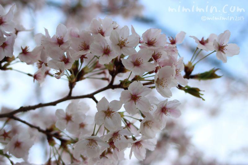 桜(サクラ)の写真4