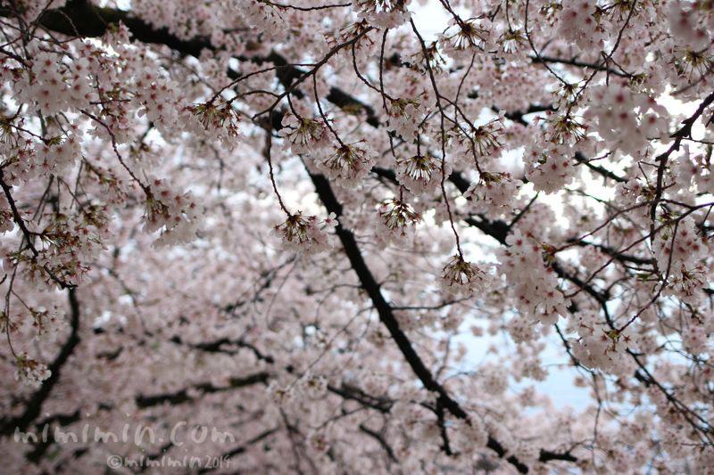 桜(サクラ)の写真5