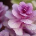 ハボタン(葉牡丹)の写真
