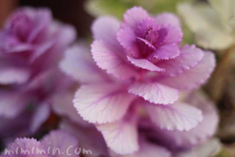 葉牡丹・紫の画像