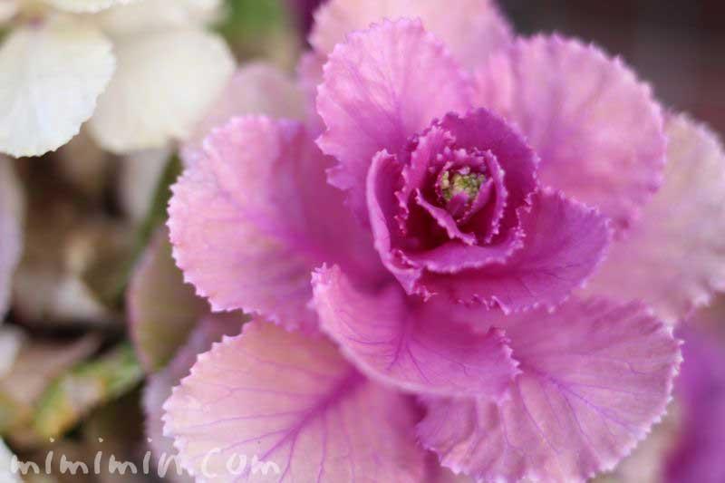紫のハボタンの写真