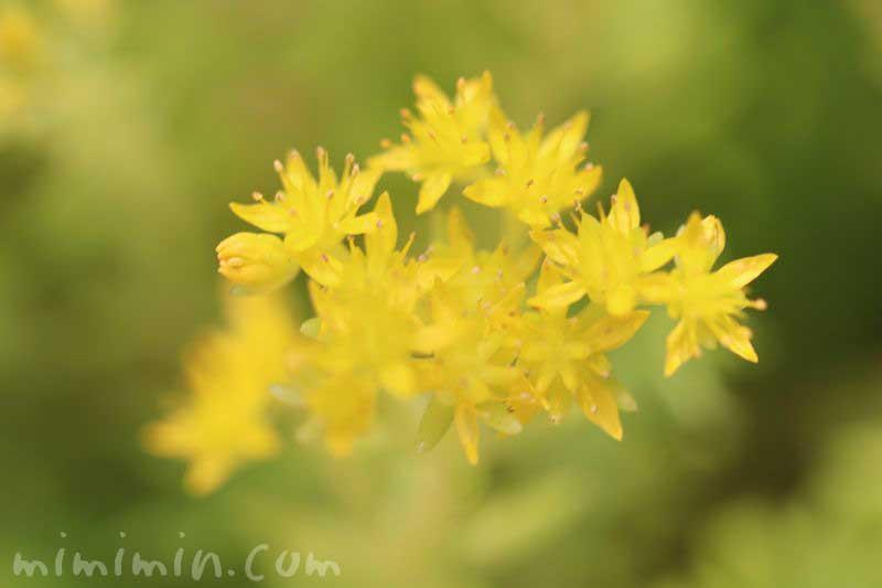 黄色の星のような花の写真