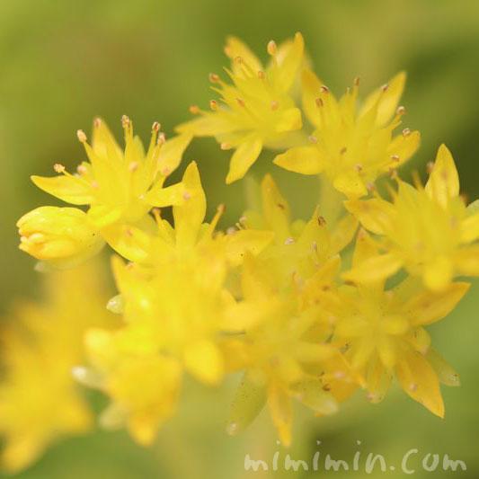 マンネングサの花の写真