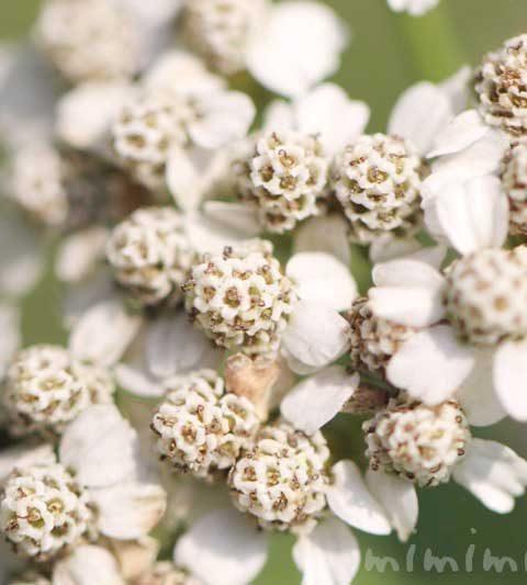 アキレア(ノコギリソウ)の花言葉・名前の由来・誕生花