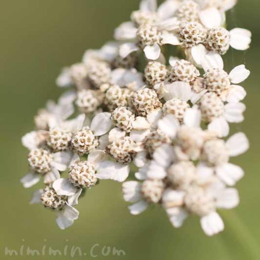 鋸草の花の画像