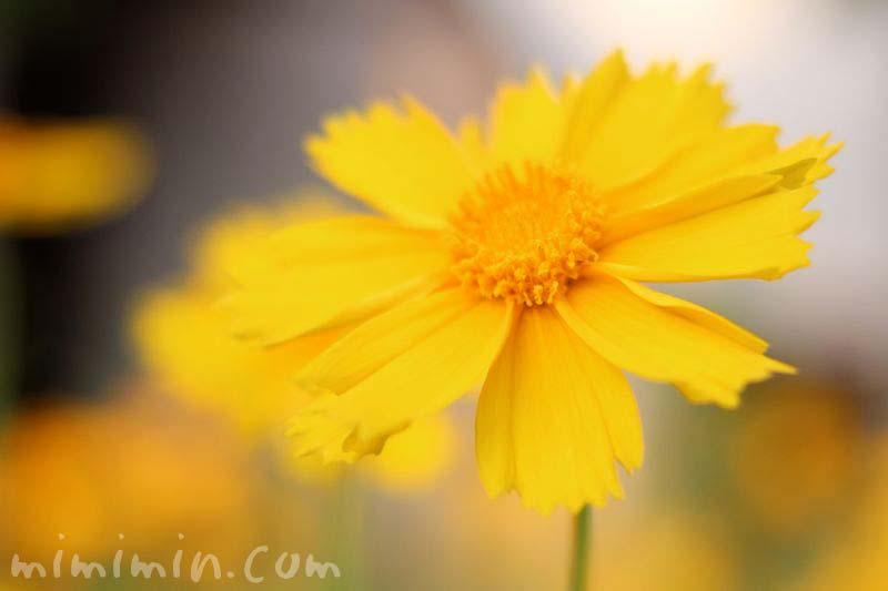 オオキンケイギク(大金鶏菊)の画像