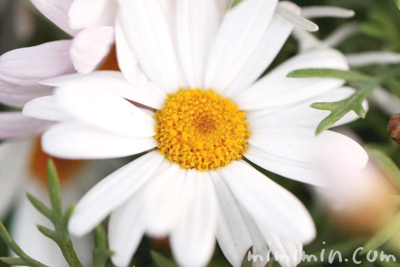 マーガレットの花(白)の画像