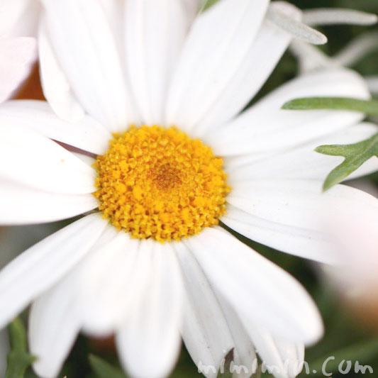 白いマーガレット