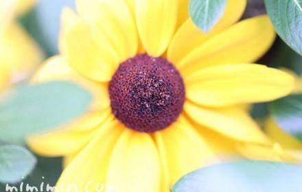 ルドベキア・黄色の画像