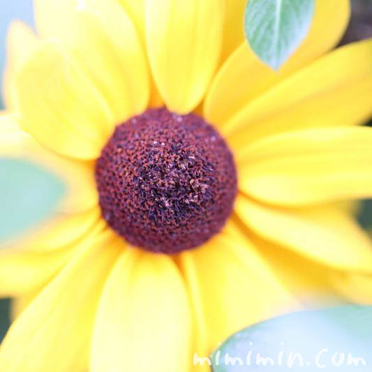 ルドベキアの花の写真・黄色
