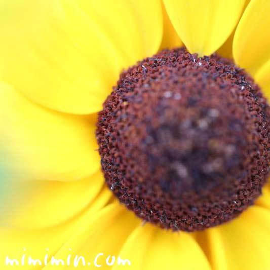 ルドベキアの花の画像・黄
