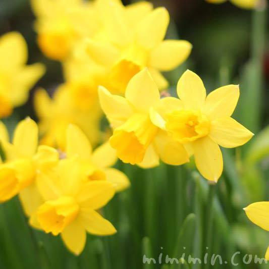 ラッパ水仙・黄色