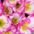 プリムラ ポリアンサの花