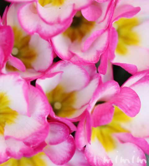 プリムラ ポリアンサの花の写真・花言葉・誕生花