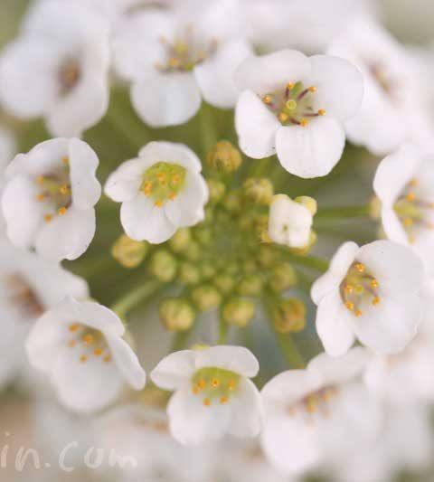 スイートアリッサムの花の写真&花言葉